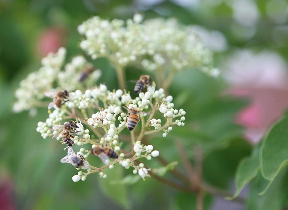 Der Bienenbaum in unserem Garten (Euodia)