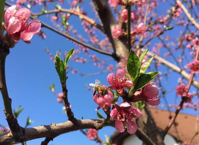 Blütenpracht - Pfirsichblüte im April